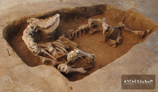 Fig. 7 : Jeune vache enterrée plus au sud (ne manque que le haut du crâne).